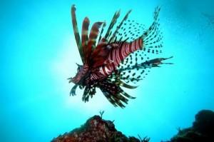 伊豆ダイビング 城ヶ崎インディーズ 有毒動物の知識を持ちましょう!